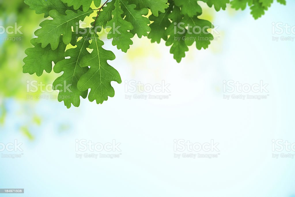 Fresh Green Oak Leaves stock photo