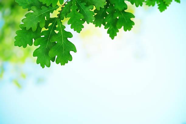 frische grüne eiche blätter - eichenblatt stock-fotos und bilder