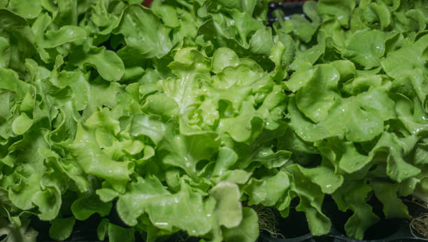 Fresh Green Oak lettuce Ready to eat in Fresh Market Concept stock photo