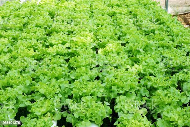 Fresh Green Oak Plant In Vegetable Garden Stock Photo - Download Image Now