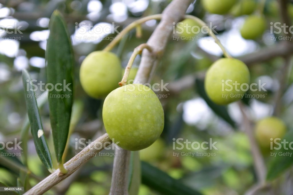 Fresh green olive fruit grow on olives tree - Royalty-free Agriculture Stock Photo