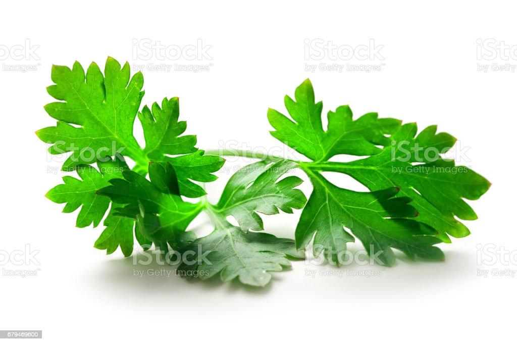 綠色的新鮮歐芹 免版稅 stock photo