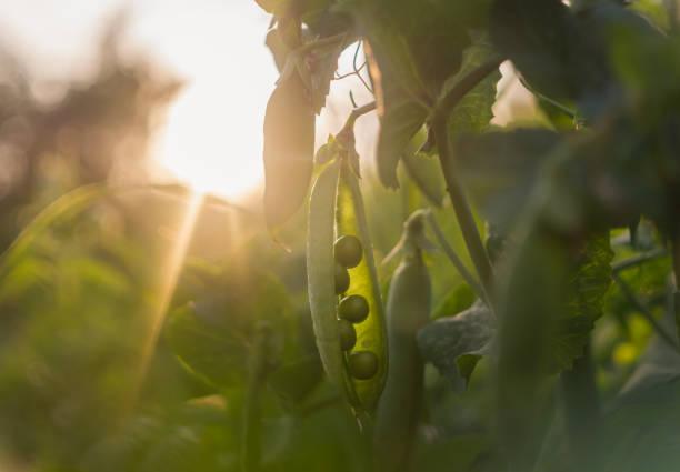 färska gröna ärt skida och solig vår trädgård - pea sprouts bildbanksfoton och bilder