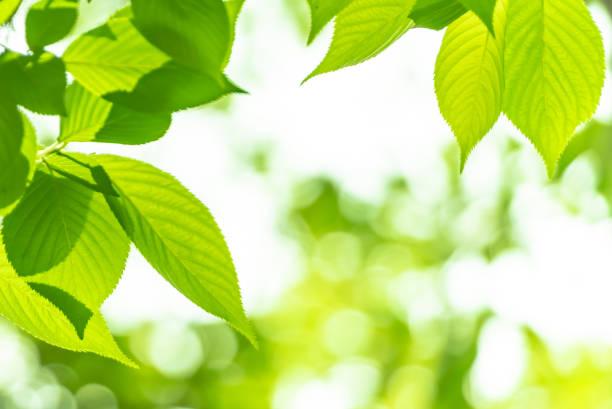 フレッシュグリーン - 木漏れ日 ストックフォトと画像