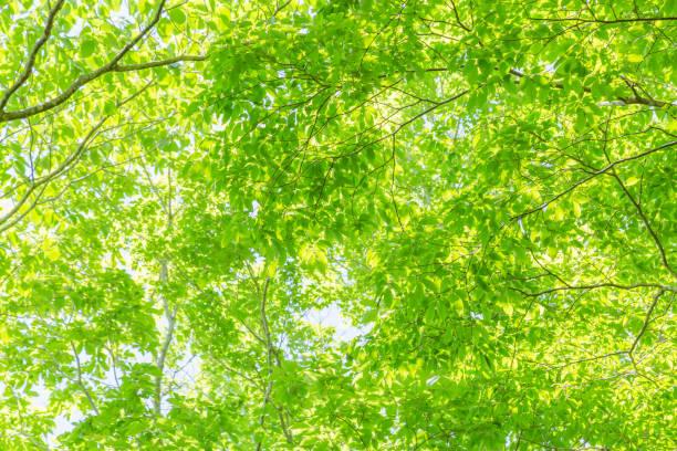 新鮮な緑 - 木漏れ日 ストックフォトと画像