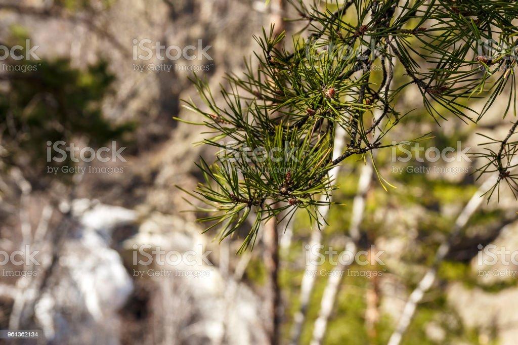 verse groene pijnbomen vertakking van de beslissingsstructuur in het voorjaar - Royalty-free Blad Stockfoto