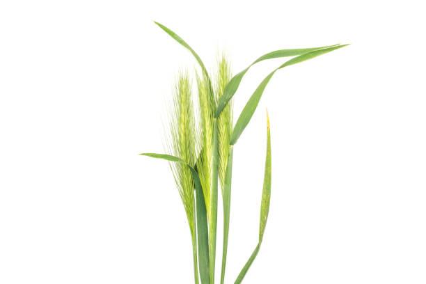Fresh green plant isolated on white stock photo