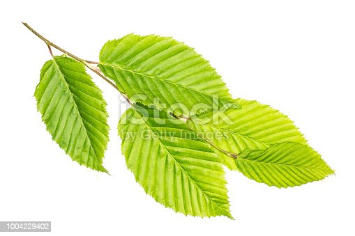 One whole fresh green plant elm branch rib leaves flatlay isolated on white