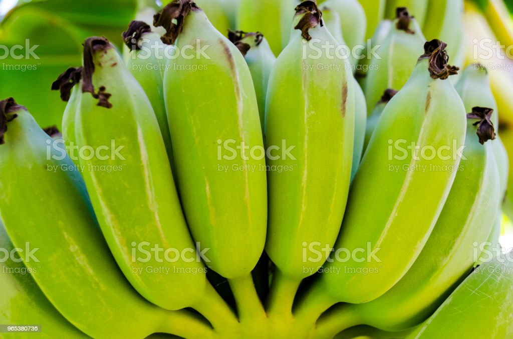 Fresh Green Plantain Banana Bunch Full Frame royalty-free stock photo