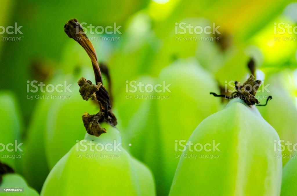 Fresh Green Plantain Banana Bunch Full Frame zbiór zdjęć royalty-free