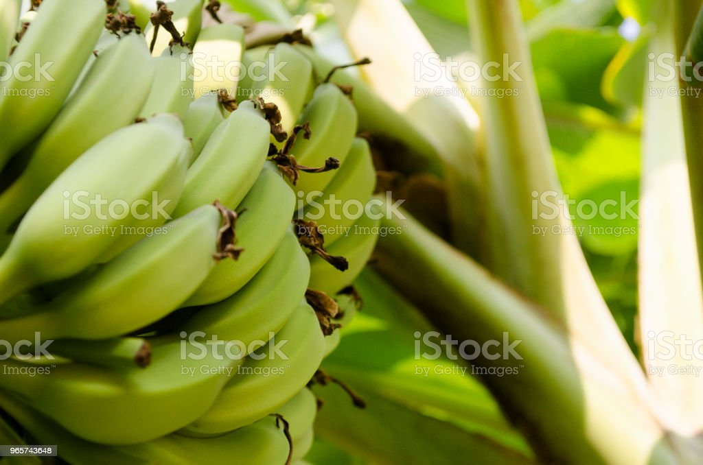 Fresh Green Plantain Banana Bunch - Royalty-free Agriculture Stock Photo