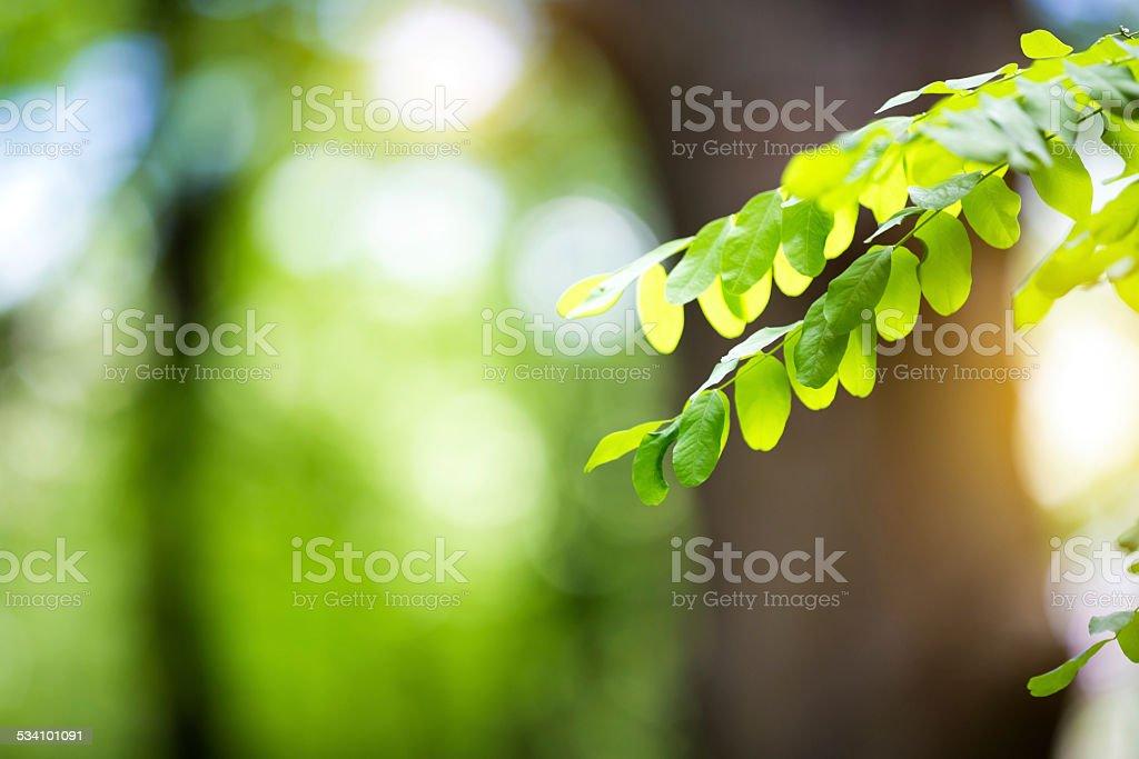 Fresh Green Robinia Leaves stock photo