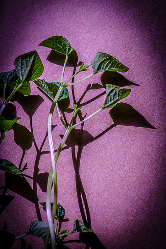 912882270 istock photo Fresh green shoots. Green leaf plant in purple background. 1225798340