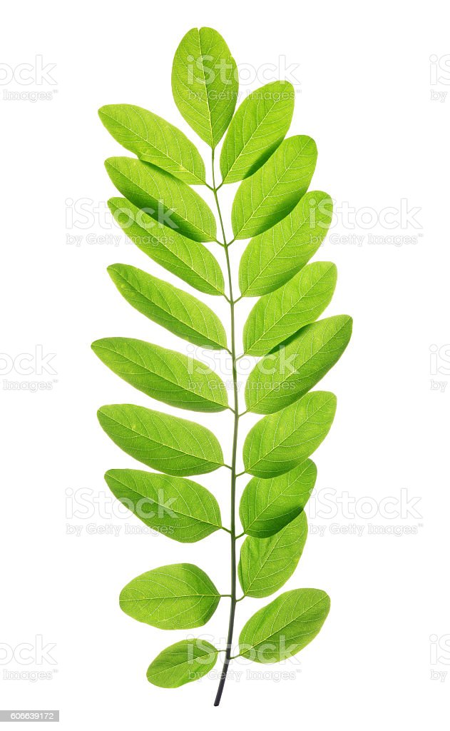Fresh green spring leaf of Acacia or Black Locust stock photo