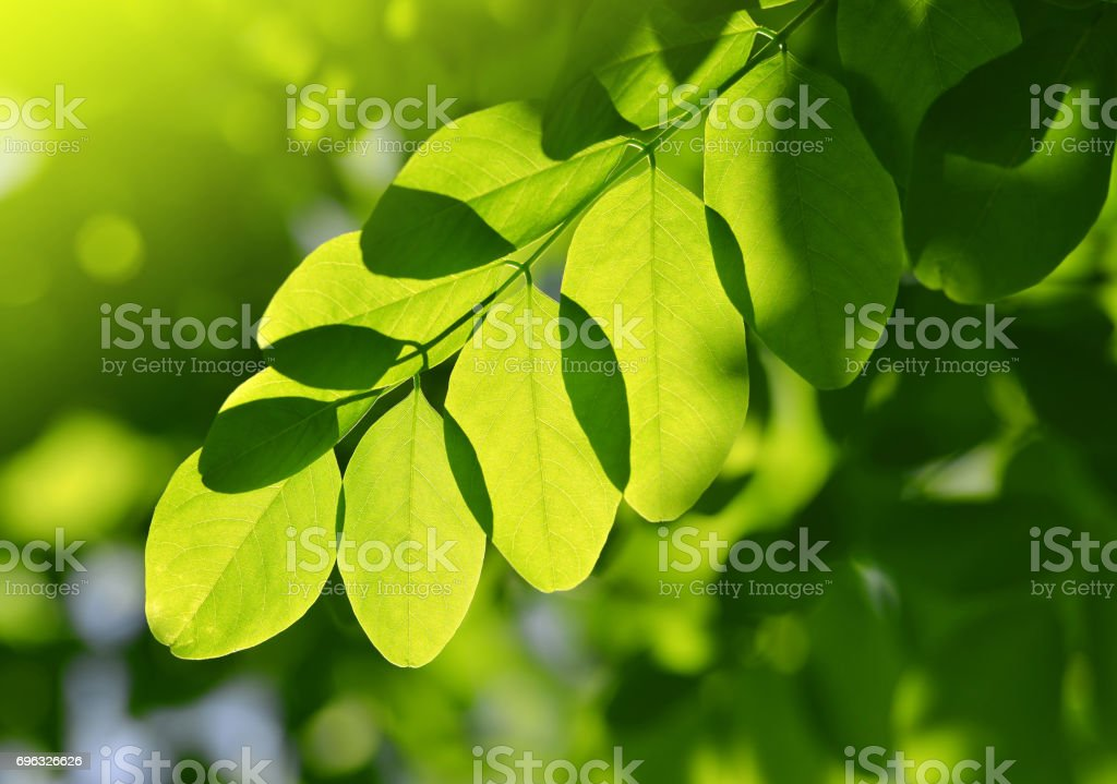 Fresh green spring leaf of Acacia stock photo