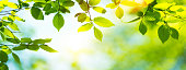 Panoramic spring background with fresh green leaves.