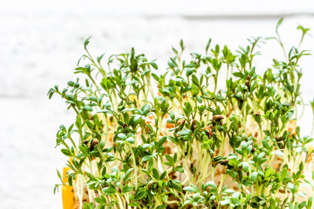 fresh green sprouts for salad, superfood diet and healthy eating concept - dieta macrobiotica foto e immagini stock