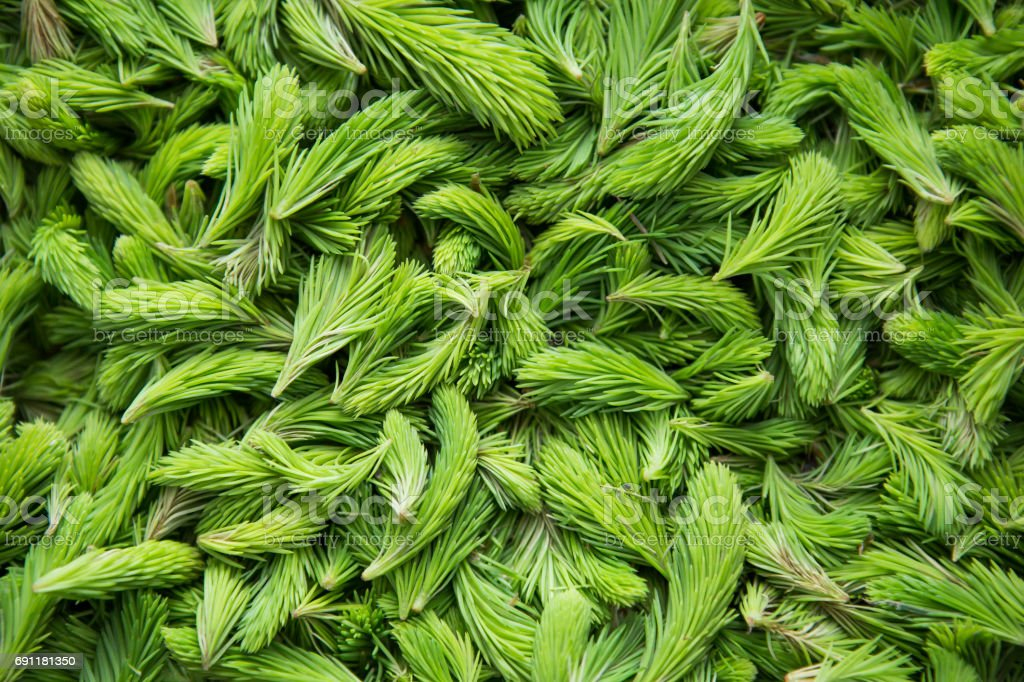 Fresh green spruce shoots. Young shoots of spruce trees in the spring. stock photo