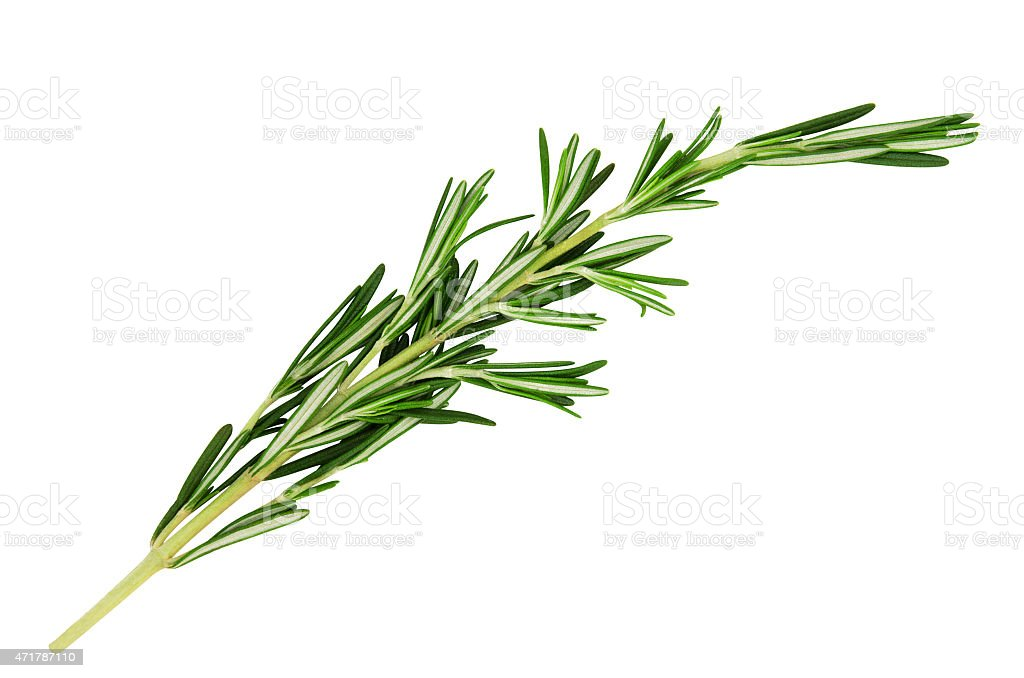 Fresh, green stick of fragrant rosemary leaves on white stock photo