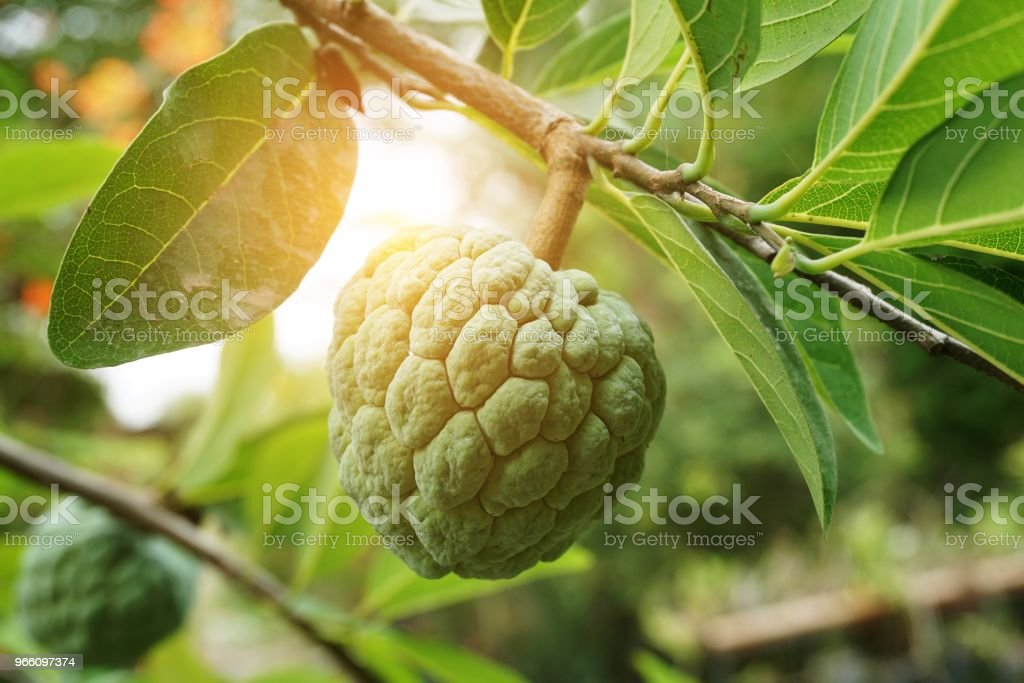 fresh green sugar apple fruit in nature garden - Royalty-free Branch - Plant Part Stock Photo
