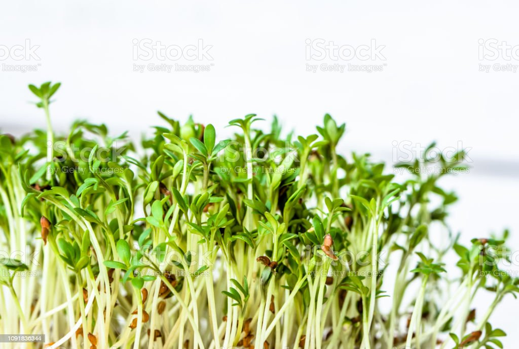 Fresh green superfood, sprouts for salad, micro greens for vegan diet and healthy eating concept stock photo