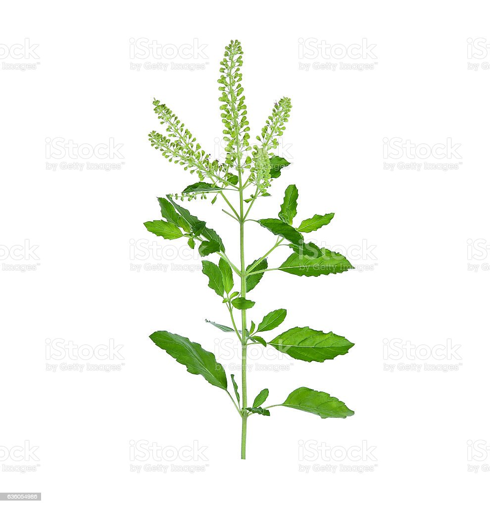fresh green sweet basil flower isolated on a white background stock photo