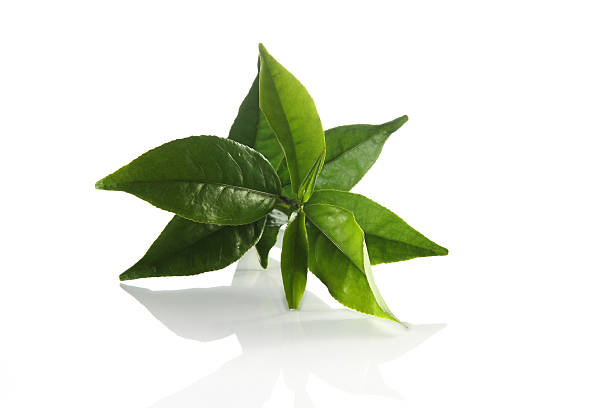 fresh green tea leaves - tea leaf stock photos and pictures