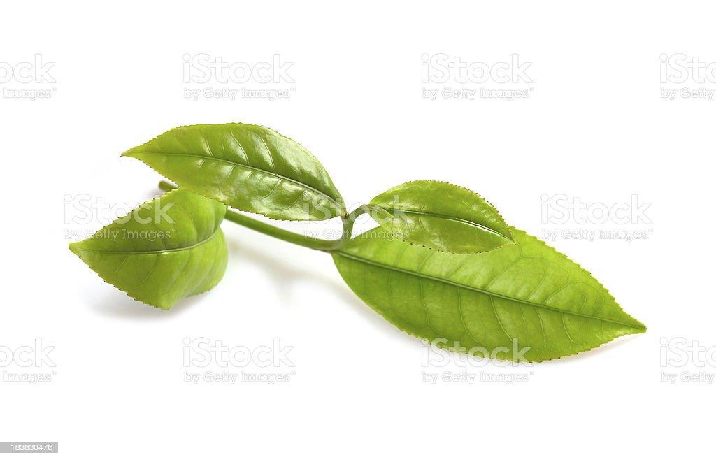 Fresh Green tea leaves royalty-free stock photo
