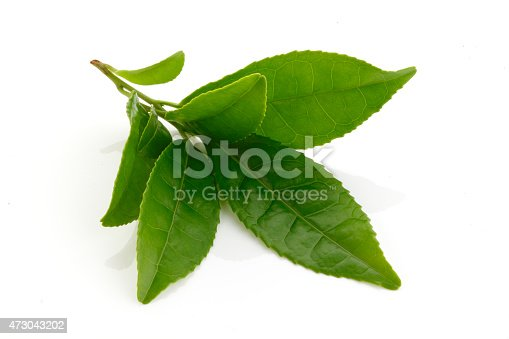 Fresh Green tea leaves isolated on white