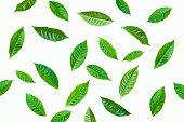 istock fresh green tea plant leaf on white background 1249112961