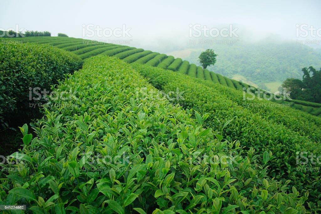 Fresh green tea plantation in the mist stock photo