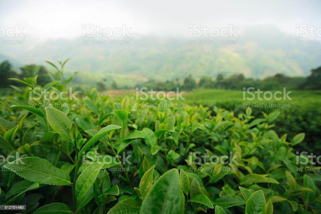 Fresh green tea plantation in the mist,north of Thailand stock photo