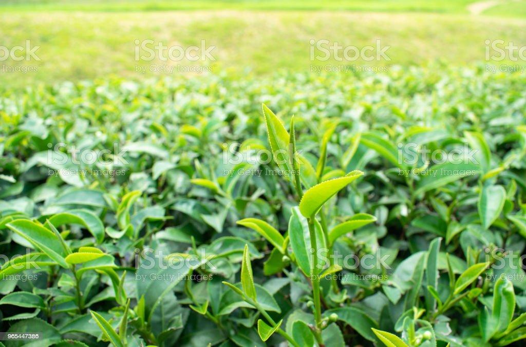 Fresh green tea young leave in the morning scene zbiór zdjęć royalty-free
