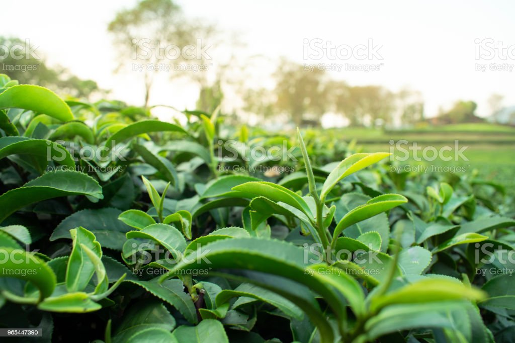 Fresh green tea young leave in the morning scene royalty-free stock photo
