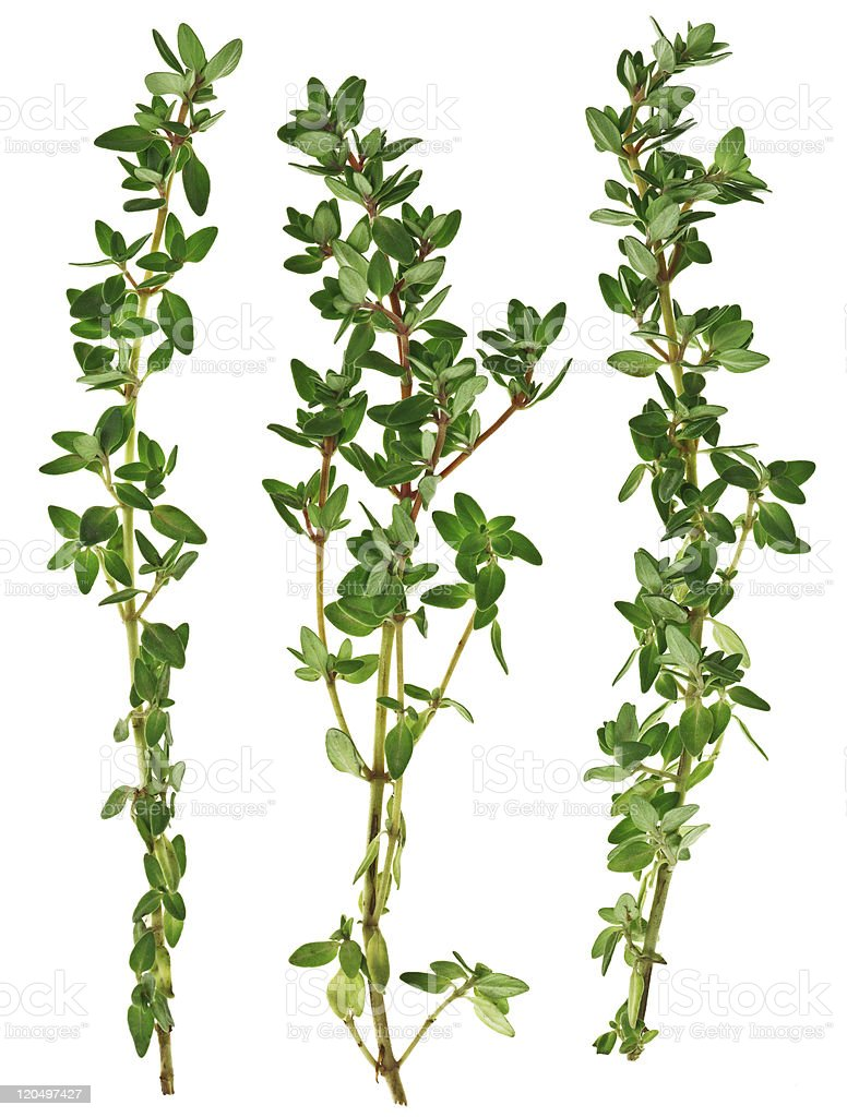 Fresh green thyme twigs, isolated on white macro stock photo