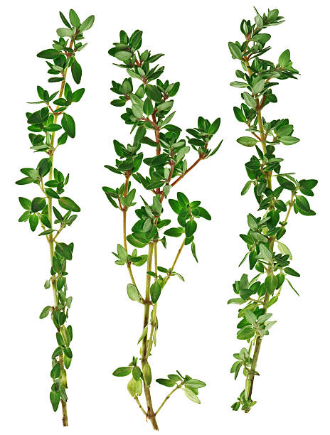 fresh green thyme twigs, isolated on white macro - thyme stock photos and pictures
