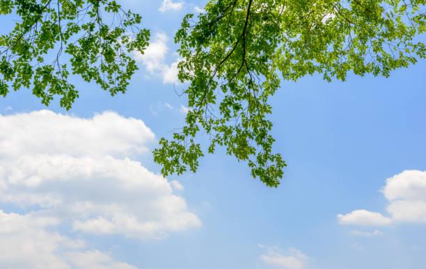 fresh green tree and blue sky and clouds. - 介護 zdjęcia i obrazy z banku zdjęć