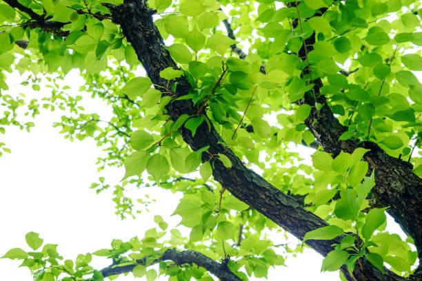 fresh green tree leaves - 介護 zdjęcia i obrazy z banku zdjęć