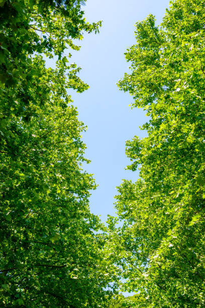 fresh green trees and blue sky - 介護 zdjęcia i obrazy z banku zdjęć