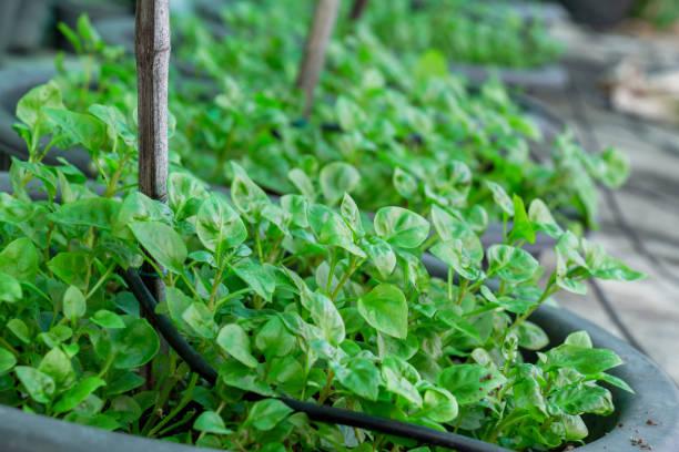신선한 녹색 야채 브라질 시금치 시금치 또는 삼바 양상추 식물 건강 한 음식 개념을 요리 에 대 한 정원에서 성장. 스톡 사진