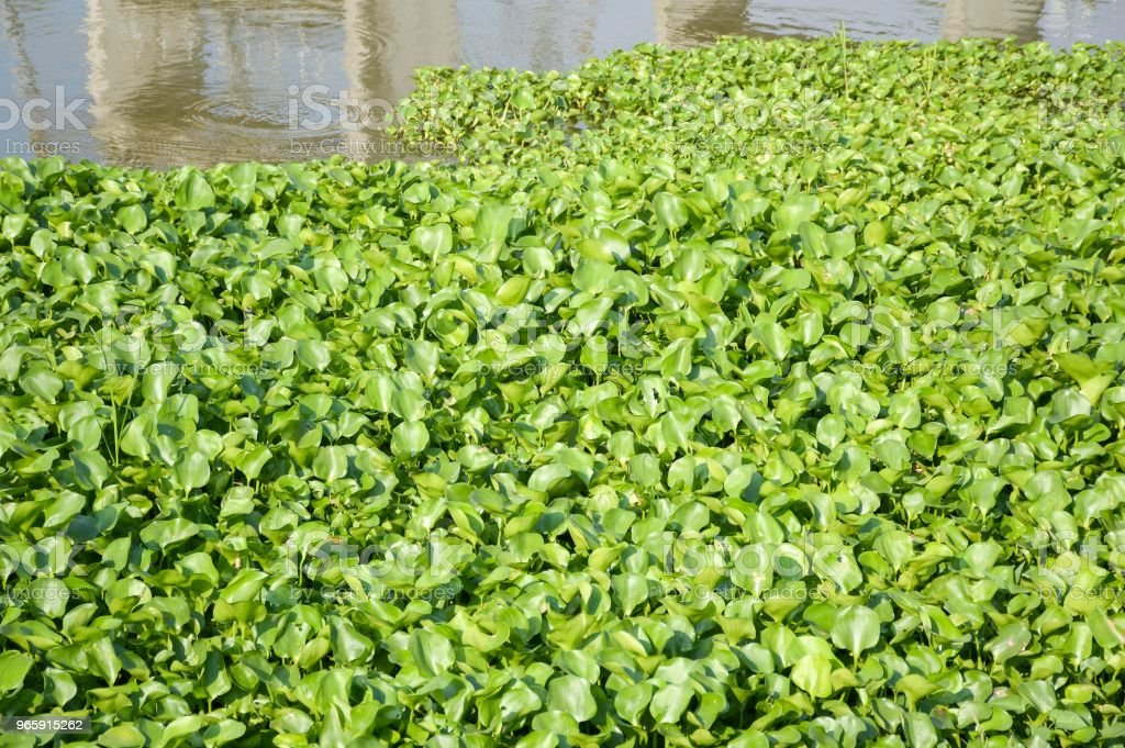 fresh green water hyacinth plant in nature garden - Royalty-free Agriculture Stock Photo