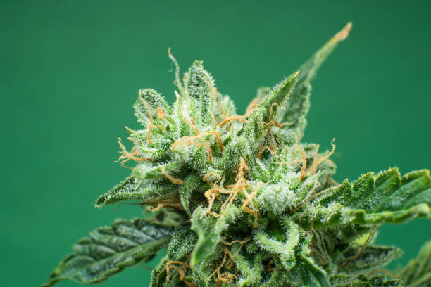 Cтоковое фото Fresh green weed In details. Marijuana bud close up. Macro trichomes cannabis. Indica flower. CBD THC in Pot.