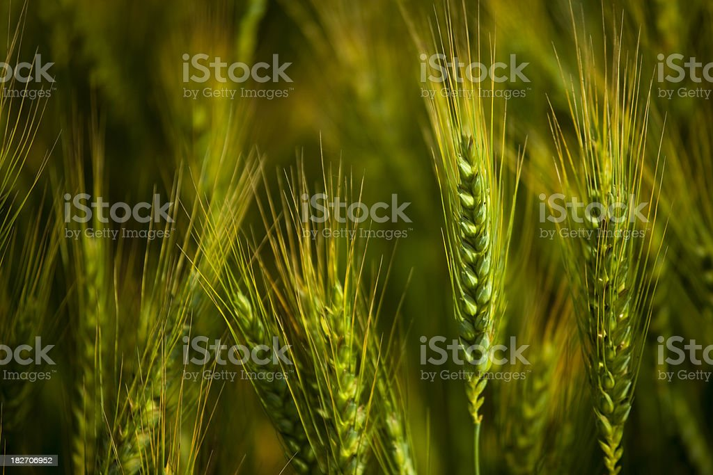 Fresh, green wheat in the field royalty-free stock photo