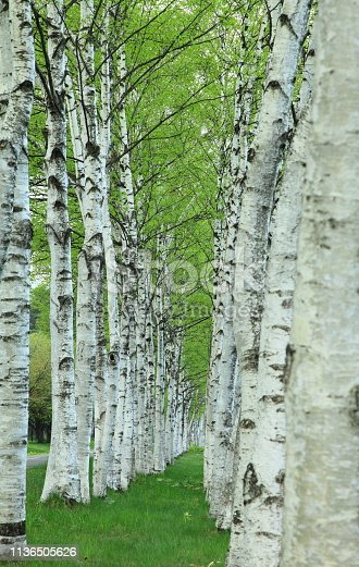 Iwate Prefecture Fresh green white birch
