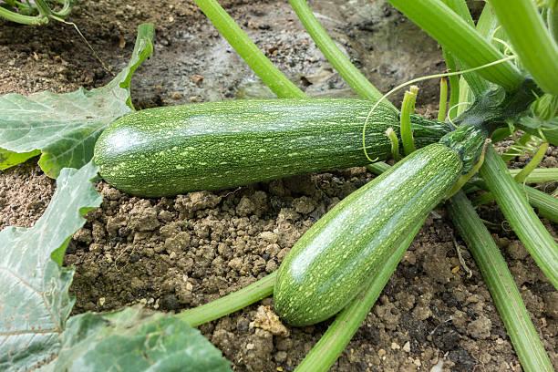 fresh green zucchini - mergpompoen stockfoto's en -beelden