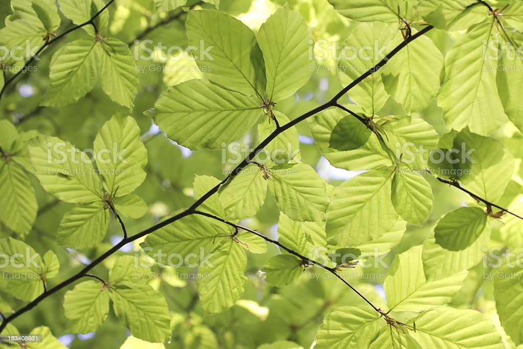 Fresh Grown Spring beech Leaves royalty-free stock photo