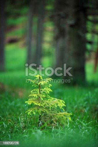 Small lonely spruce tree growing between old trees.