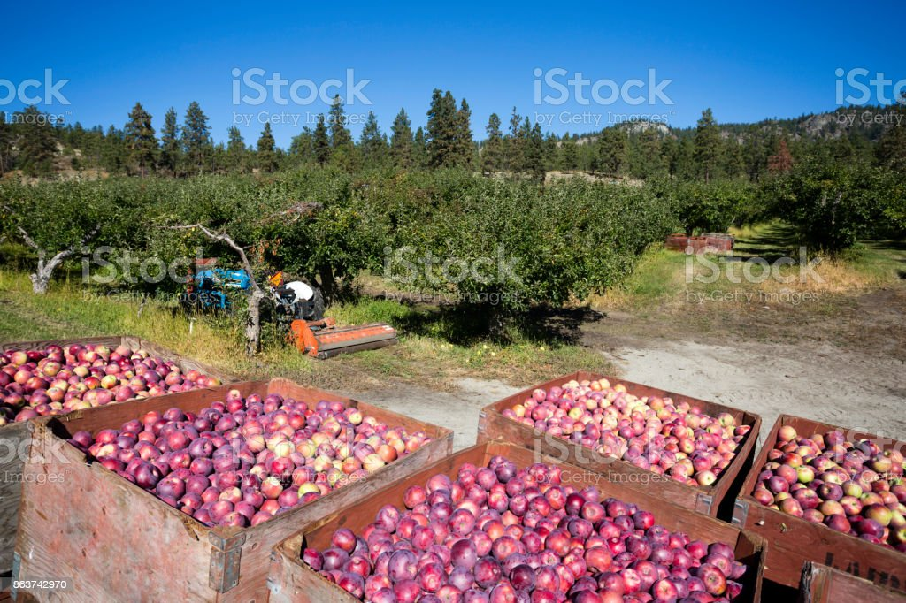 Fresh Harvest Ripe Organic Red Delicious Apple Okanagan Valley stock photo