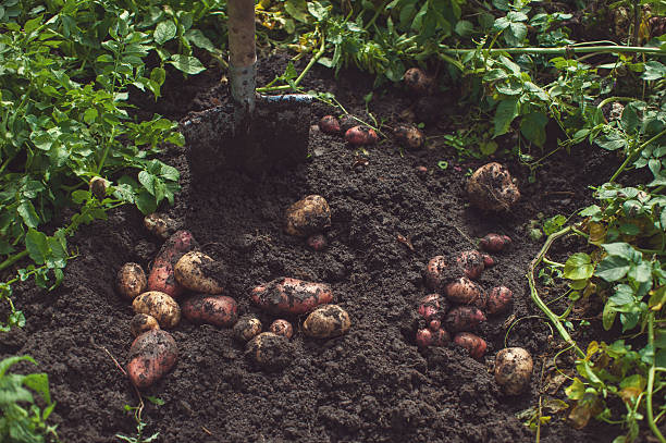 Fresh harvesting potatoes – Foto