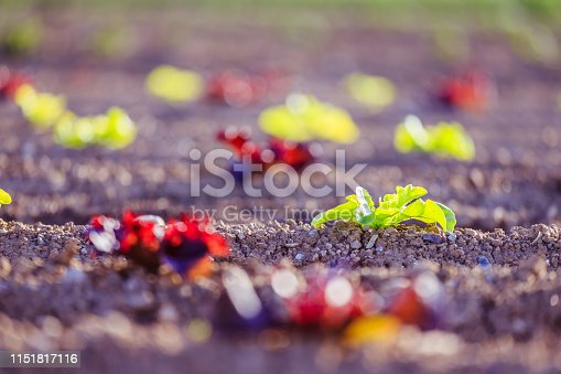 istock Fresh head of lettuce on an agrarian field, spring time 1151817116